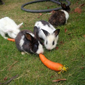 conigli e carota